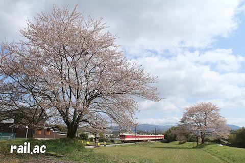 最後の頑張りを見せる桜の傍を行く1000系列